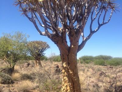 Drachenbaum Namibia